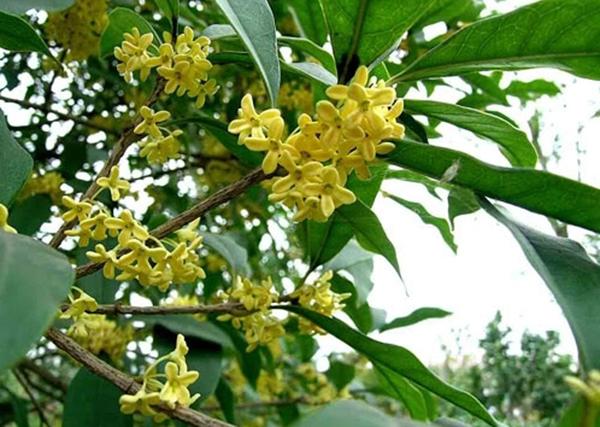 Cây mộc hương có tác dụng chữa dạ dày hiệu quả và an toàn