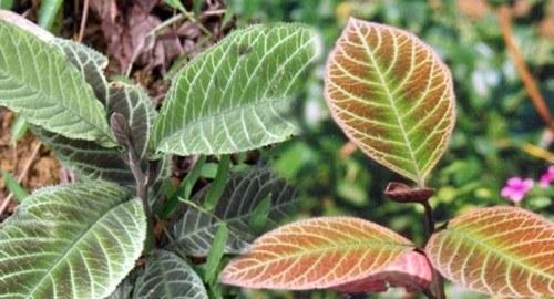 Dùng cây lá khôi chữa và điều trị viêm xung huyết hang vị dạ dày