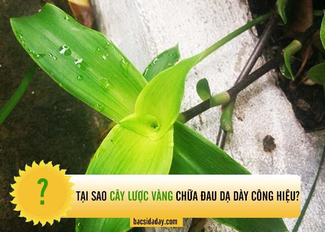 cây lược vàng chữa đau dạ dày