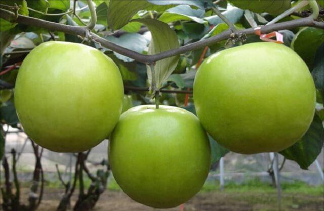 Đặc tính chữa đau dạ dày của táo ta