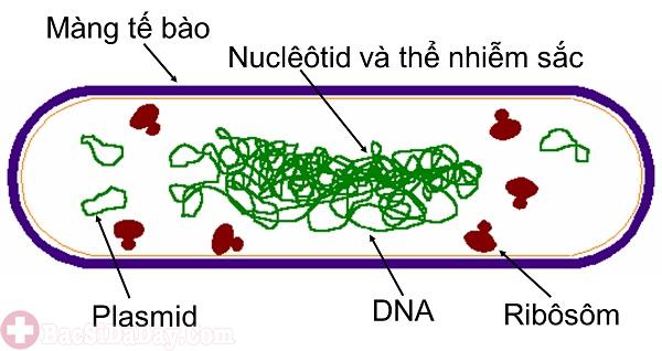 Cấu trúc vi khuẩn Hp được giải phẫu
